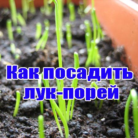 Как и когда сажать лук порей на рассаду
